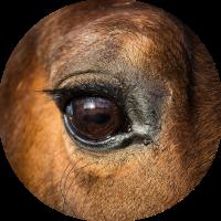 oog paard